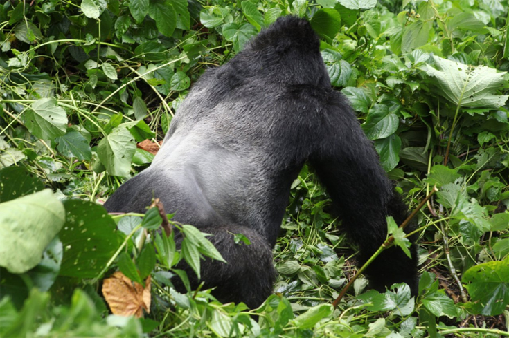 The Humba family's namesake—the dominant silverback male—shows off his striking coloring.