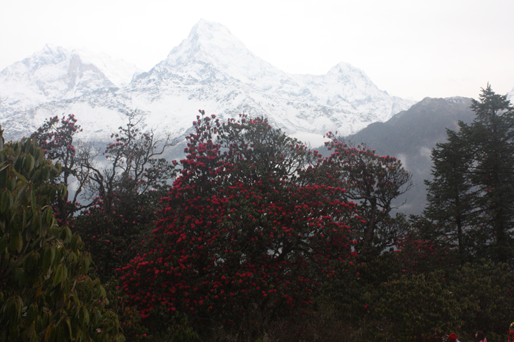 Rhododendron is the national flower of Nepal.