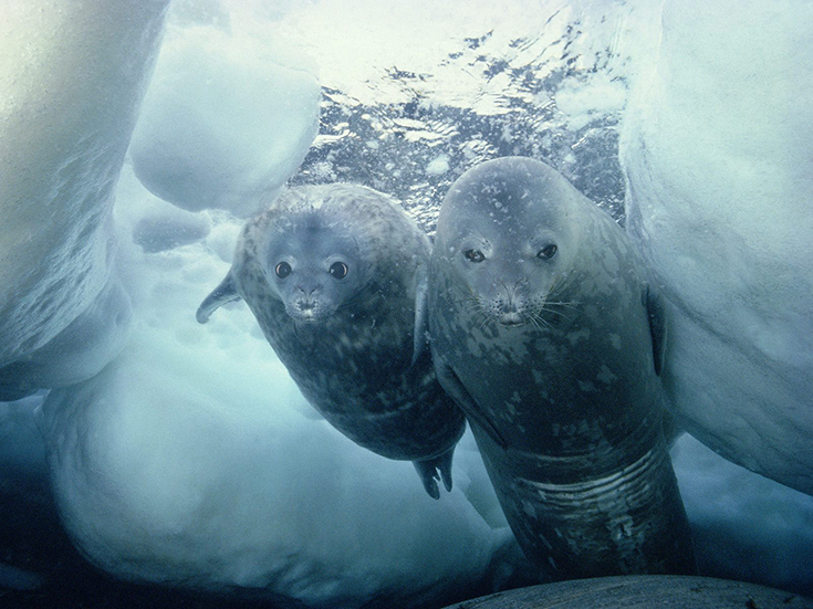 Weddell Seal and Pup, Antarctica